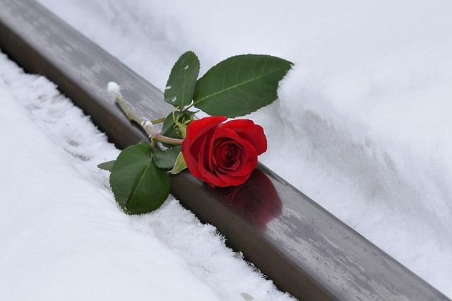 osamělá růže ležící ve sněhu – symbol samoty